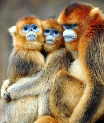 обезьяна и телец характер